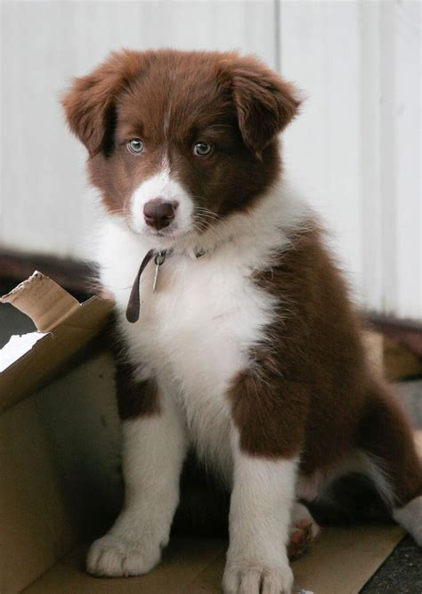 65 best images about BROWN/RED & WHITE BORDER COLLIES on