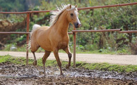 horse horses animals farm palomino wallpapers caballos imagenes fotos