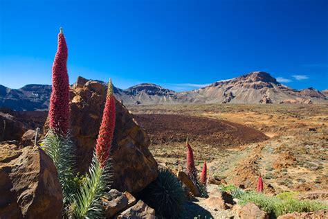 plantes de bureau la flore le parc national du teide tenerife