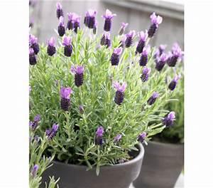 Pflege Von Lavendel : schopf lavendel 39 anouk 39 dehner garten center ~ Lizthompson.info Haus und Dekorationen