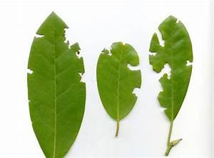 Schädlinge An Rosen : gefahr f r pflanzen der dickmaulr ssler ~ Lizthompson.info Haus und Dekorationen