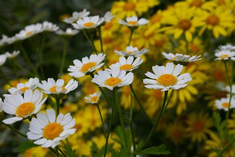 plant with like flowers 13 plants with daisy like flowers