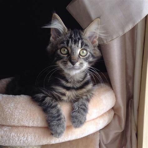 Meet Chester Hes A Snob But I Love Him Cute Cats Hq