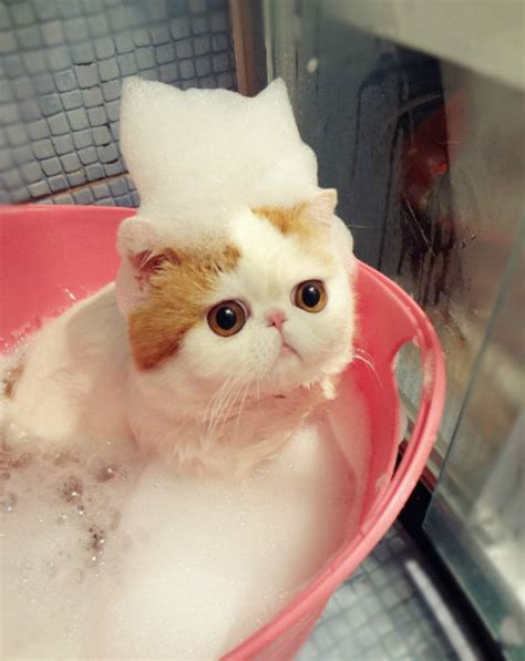 Cute Japanese Cat Taking A Bath  Daily Picks And Flicks
