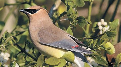 cedar waxwing country roads magazine