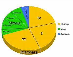 Onion Cell Mitosis Questions
