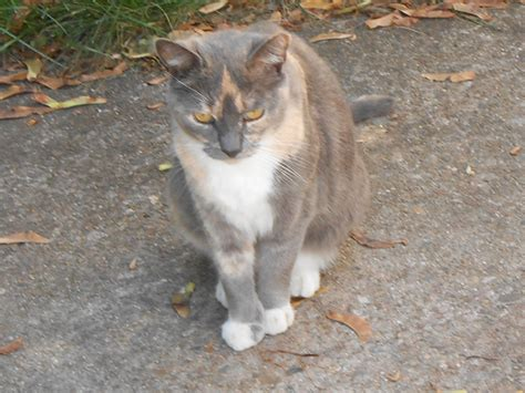 Found Dilute Calico Cat Everett Kitty Connection