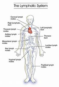 Labeled Diagram Of The Lymphatic System   Labeled Diagram