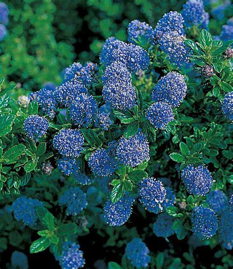 Garten Pflanzen Sonne by Blauer Ceanothus Blue Mound Winterhart K 252 Bel Sonne
