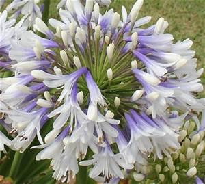 Graines D Agapanthe : agapanthus queen mum agapanthe queen mum fleur de l ~ Melissatoandfro.com Idées de Décoration