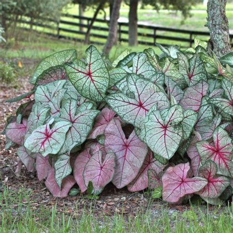 when do caladiums bloom caladiums caladiums fancy leaf from bulbs to blooms