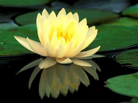 water flower lotus flower water