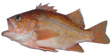 rockfish canary finfish species state pinniger sebastes