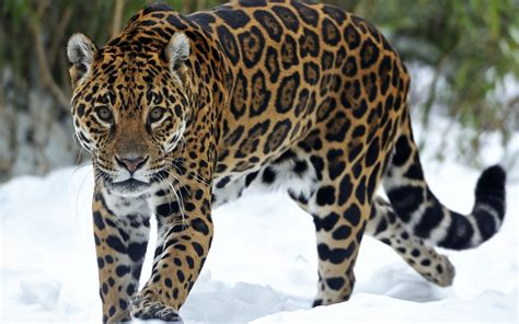 Jaguar Backgrounds by Jaguar Animal Background
