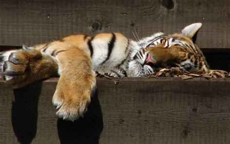 sleeping animals tiger wallpapers hd desktop