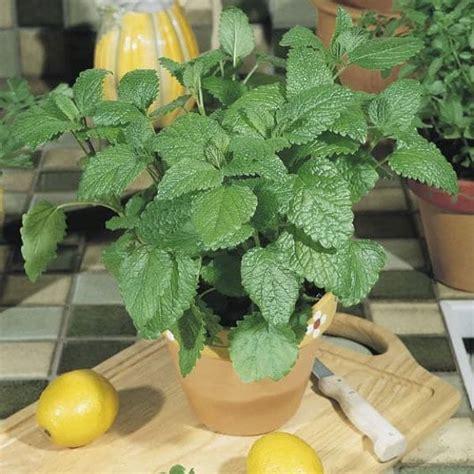 balm lemon indoors grow growing herbs indoor garden round balconygardenweb