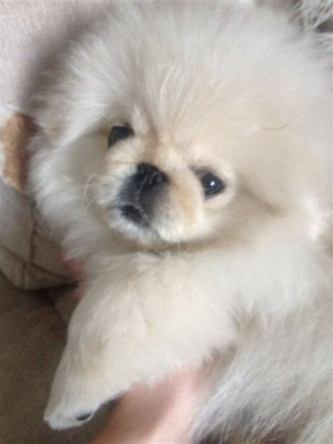 miniature pekingese pedigree white weybridge surrey