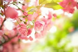 white cherry blossom fonds d 39 écran fleurs roses maximumwallhd