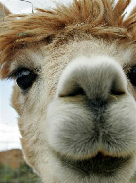 Look At The Beautiful Eyes Of An Alpaca!  Stuff I Like