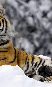 10 New Siberian Tiger Wallpaper Hd 1080P FULL HD 1080p For ...