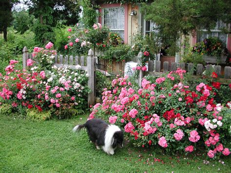 flower carpet roses in cottage garden mix of flower