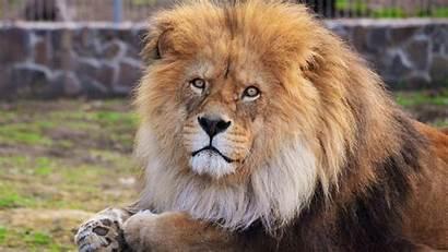 Lion Wallpapers 1080p Male Desktop Animals