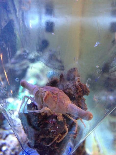 centropyge interrupta et crabe incroyable 224 identifier