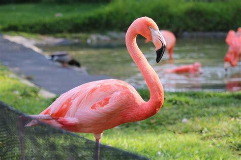 ทำไมนกฟลามิงโกจึงมีสีชมพู