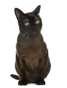 Black and White Bombay Cat