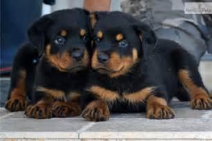 Rottweiler Puppies Adoption