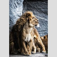 King And Queen Of The Jungle  Incredible Snaps