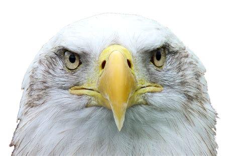 adler seeadler weisskopfseeadler kostenloses foto auf pixabay