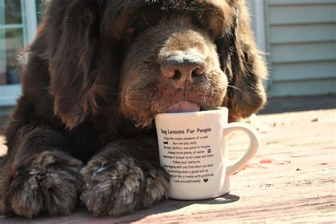 Per 2.2 pounds of your pet's weight, 150 mg of caffeine is lethal. Dogs And Coffee Mugs - mybrownnewfies.com