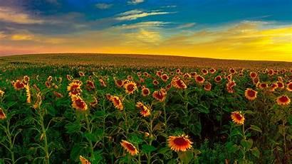 Sunset Yellow 4k 5k Sky Field Flowers