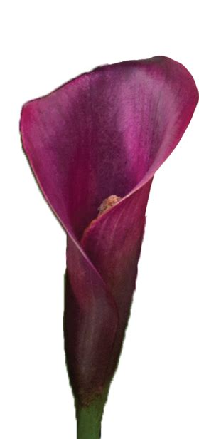 calla colors purple lilies meaning varuna garden