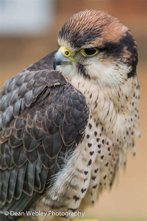international center  birds  prey photography