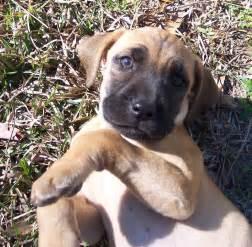 blackmouth cur dog puppy dog gallery