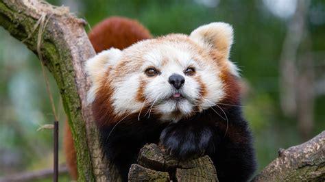 wallpaper red panda animals photography  uhd