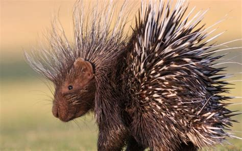 porcupine quills can porcupines shoot their quills wonderopolis