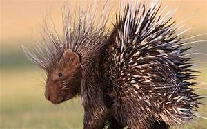Can Porcupines Shoot Their Quills?   Wonderopolis