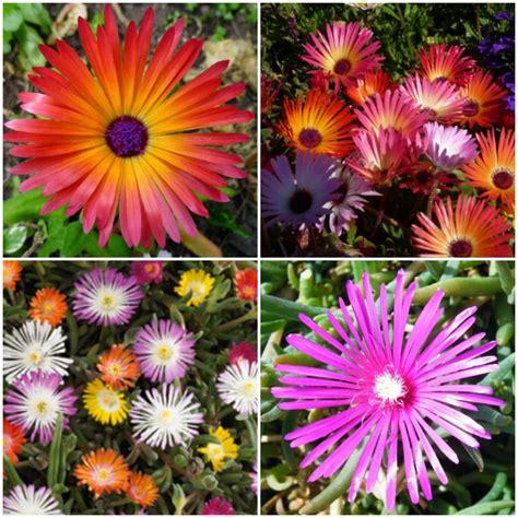 Floare De Cristal - Dorotheanthus Bellidiformis - Bulbi Romania