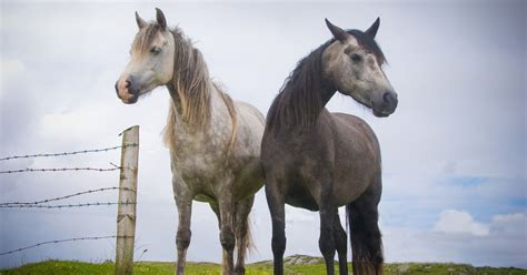 horse deadly disease wales strangles horses case north