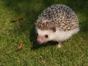 free photo animals mammalia erinaceidae hedgehog