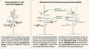 Mein Apfelbaum Anleitung : obstbaumschnitt apfel obstbaumschnitt apfel ~ Lizthompson.info Haus und Dekorationen