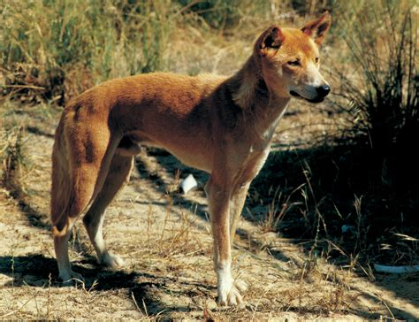 evaluation  wild dog control measures agriculture  food