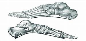Skeletal Structure Of The Foot  From Top To Bottom