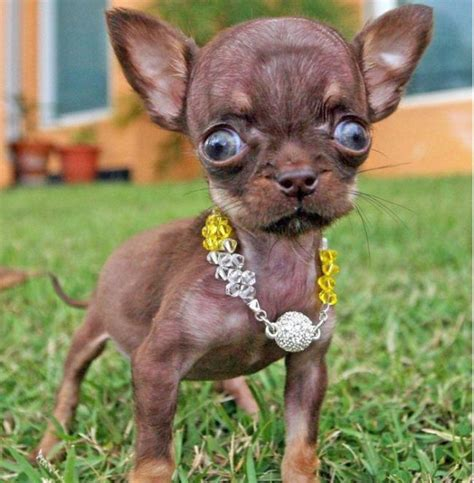 chihuahua milly   worlds smallest dog  pics