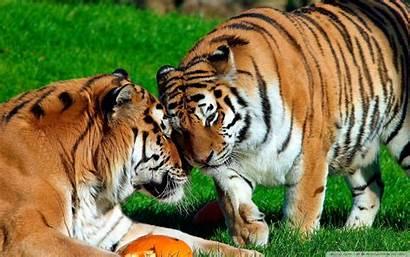 Tigers Wallpapers Tiger Amur Desktop Animals Tablet
