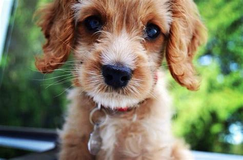 do mini cockapoos shed 17 best images about cockapoo on cocker poodle