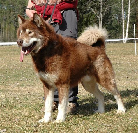 greenland dog breed guide learn   greenland dog